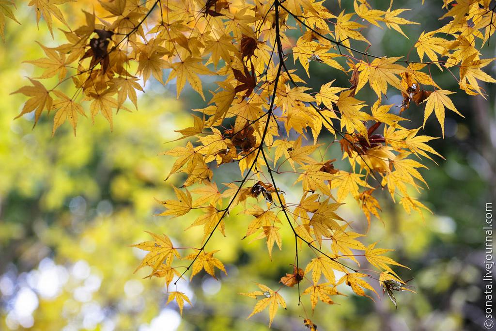 188 Клёны в ботаническом саду Кобе
