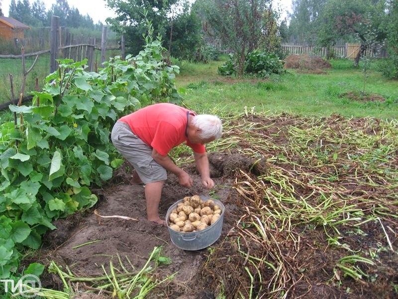 сколько вёдер картошки для посадки на 1 сотку душевных связях