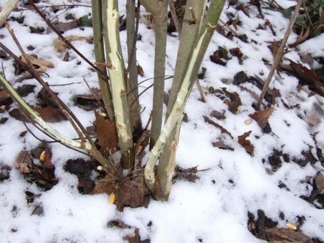 Как защитить деревья и кустарники от грызунов и зайцев?