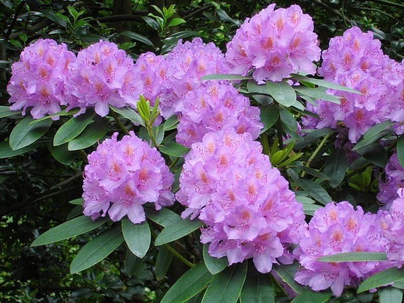 Рододендрон, или розовое дерево!