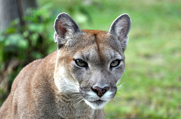 Один из видов больших кошек признан вымершим