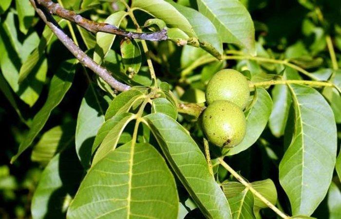 Настойка зеленого грецкого ореха — это защита от болезней! Это ценный рецепт для укрепления здоровья