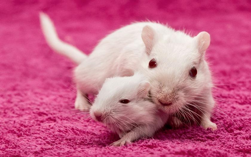 Обои животные, крысы, мыши, мать, крыса, детёныш скачать обои для рабочего стола,картинки на рабочий стол,заставки,изображения и