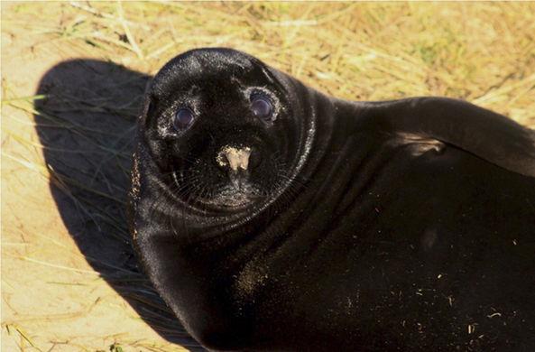 У пары серых тюленей в Британии родился абсолютно черный малыш