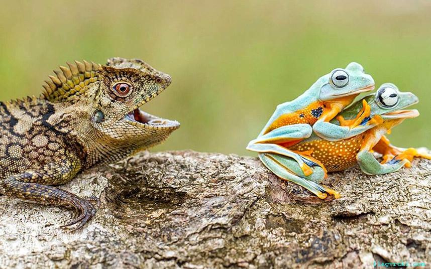 Лесной дракон, по всей видимости, испытал настоящий шок, когда он застал двух лягушек в компрометирующей позе.