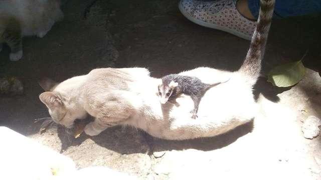 Кошка принесла с прогулки детеныша опоссума и стала ему мамой