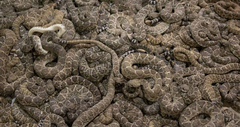Друзья пытались достать змею из-под дома, а нашли там десятки рептилий
