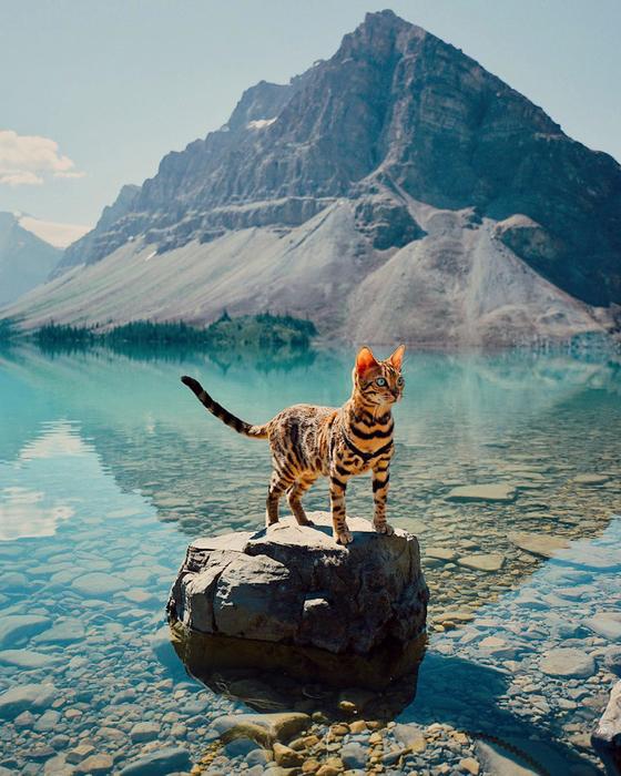 Бенгальская кошка-путешественница из Инстаграма