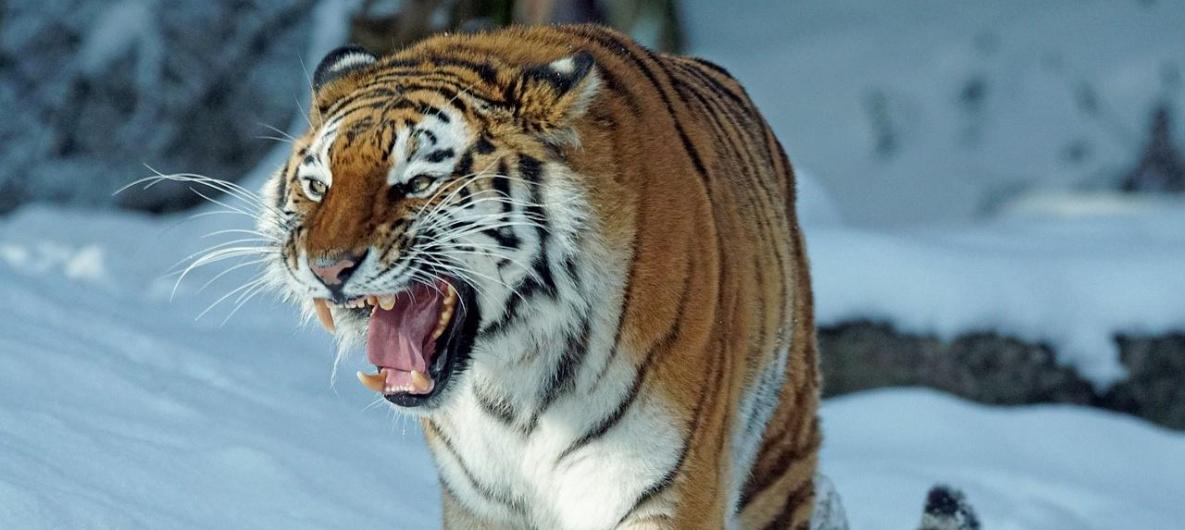 Поевший собак тигр пришёл не от нас – руководство хабаровского нацпарка