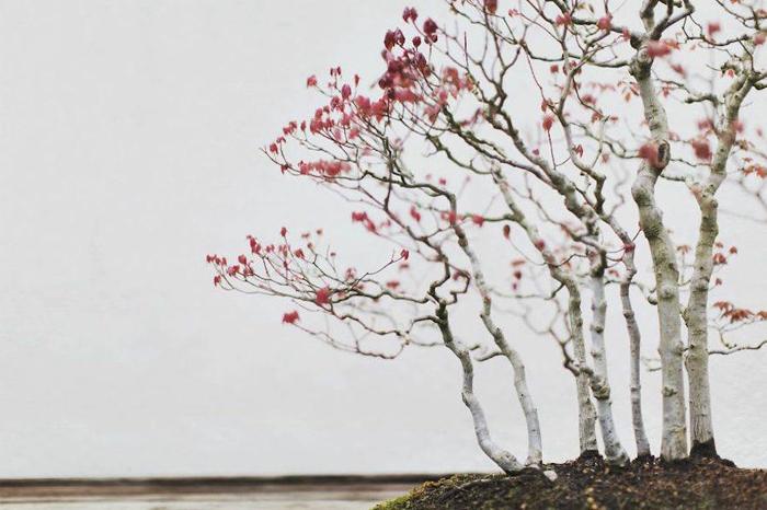 Красный клен, выращивается с 1974 г. Фото: Stephen Voss.