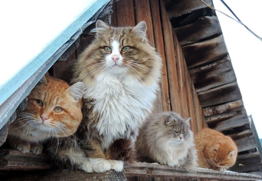 Siberian Farm Cats Have Absolutely Taken Over This Farmer's Land, And They're Absolutely Majestic