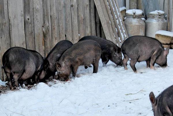 10 самых знаменитых свиней в истории