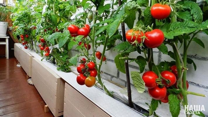8 идей для квартирных посадок: какие овощи и фрукты можно вырастить у себя на подоконнике