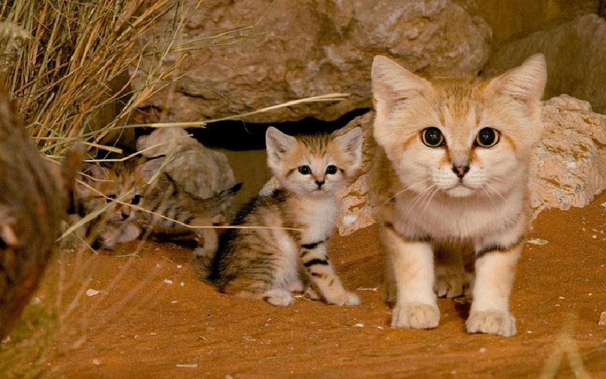 Песчаные кошки: И взрослые, и малыши выглядят как котята