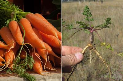 Как эволюционировали популярные сельскохозяйственные культуры