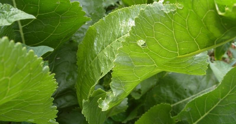Волшебство листьев хрена: вытягивают соль прямо через поры кожи