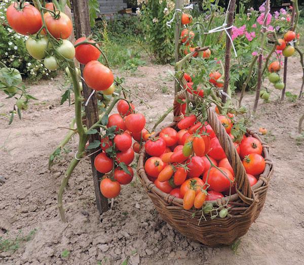 Зачем нужно раздевать помидоры догола?
