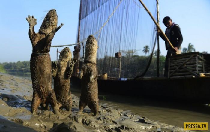 В Бангладеш дрессированные выдры ловят для людей рыбу