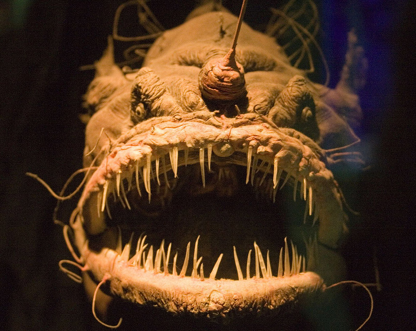 Хищная рыба европейский удильщик или европейский морской чёрт