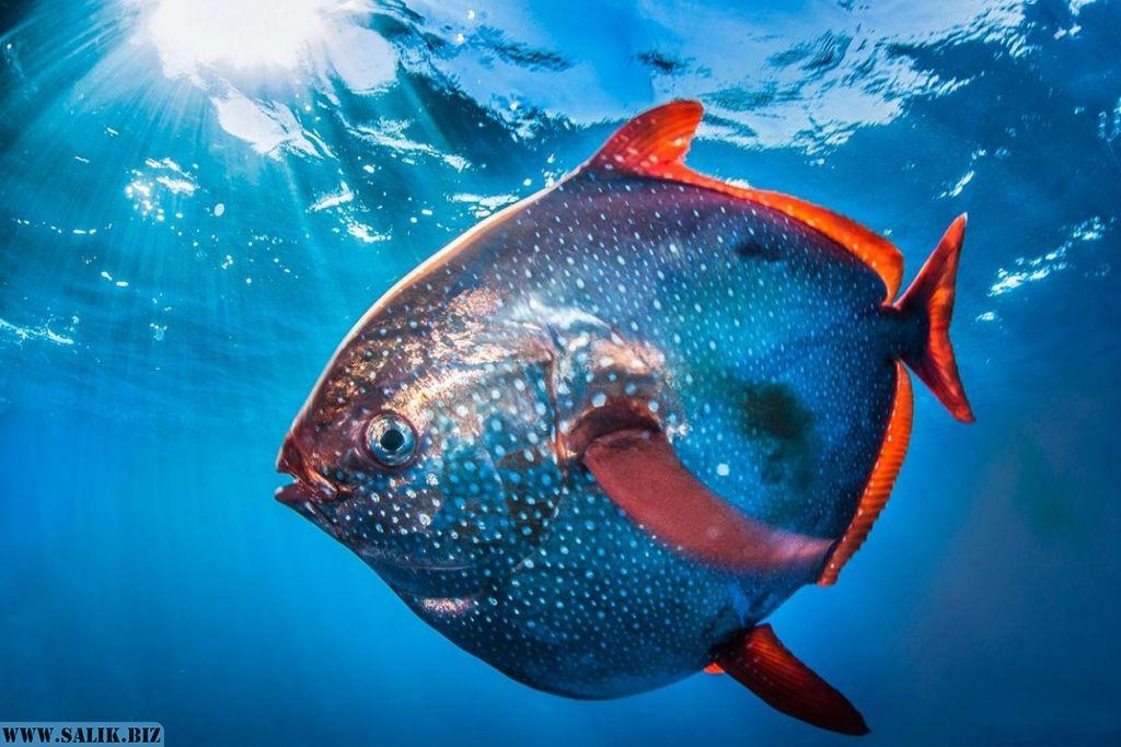 Единственная в мире теплокровная рыба