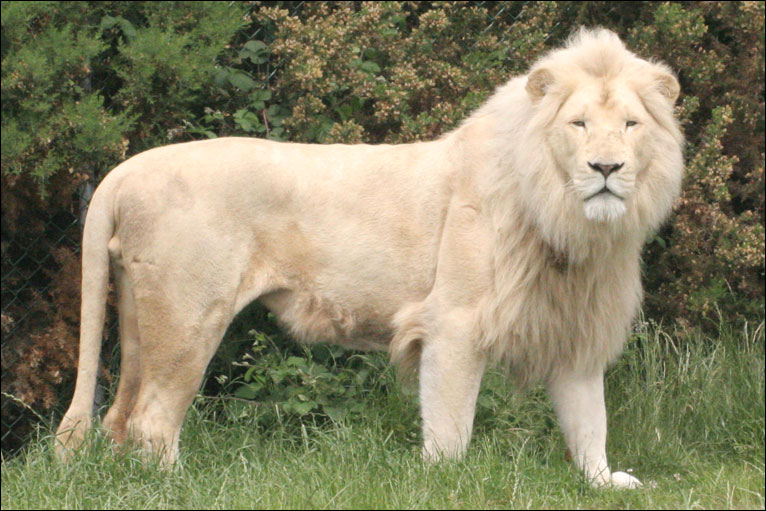 _46520281_white_lion_turned.jpgц