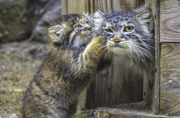 В новосибирском зоопарке котята манула впервые вышли на прогулку