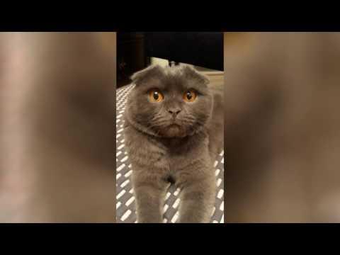 Этот кот нахулиганил, тогда хозяйка сказала, что отправит его к бабушке. Посмотрите на его реакцию!