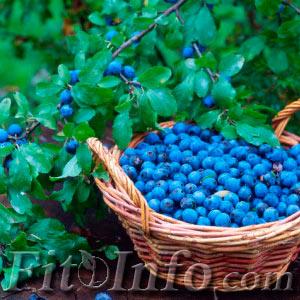 Терновые ягоды в корзине