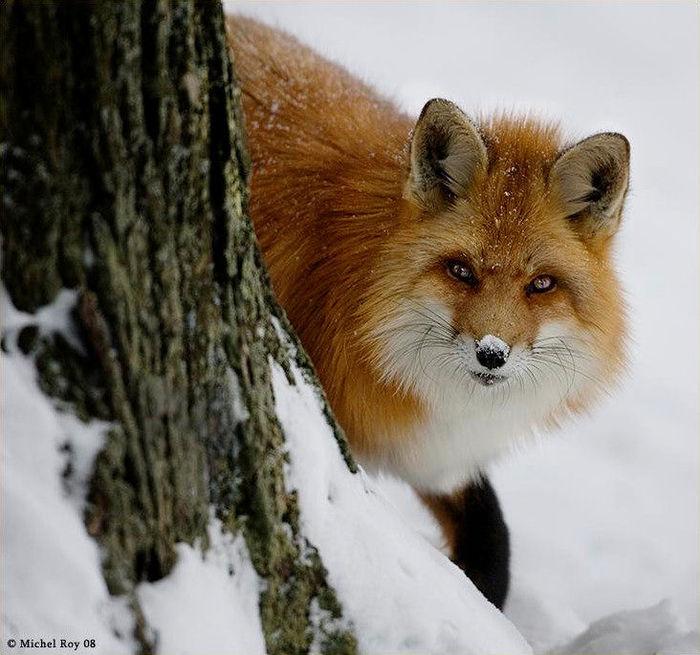 fox_20120409_00640_058 (700x655, 83Kb)