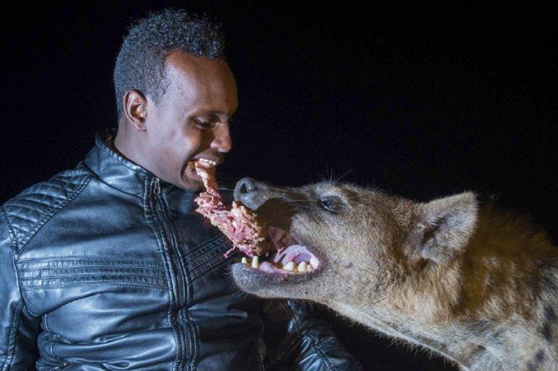 """""""Человек-гиена"""" ест от одного куска с хищниками, помогая соседям"""