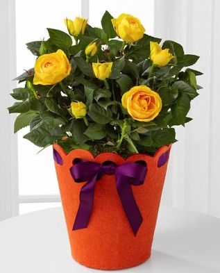 розы Патио