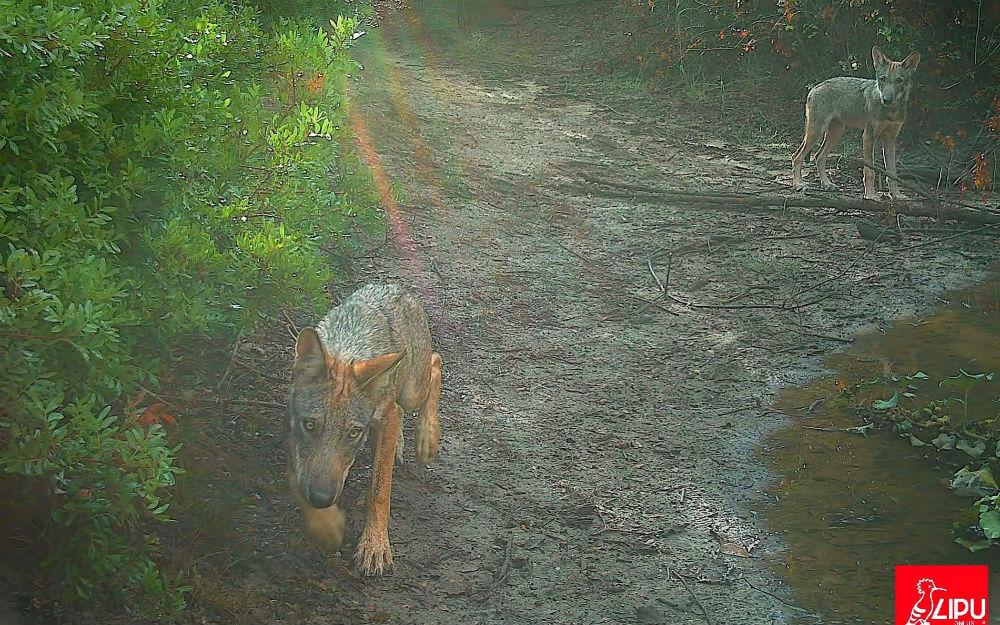 «Вернулись править»: волки появились в окрестностях Рима впервые за сто лет