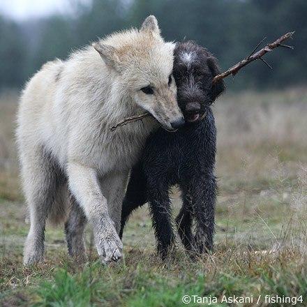 Дружба, возникающая между волком и собакой