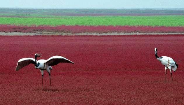Красный пляж в Китае (8 фотографий), photo:5