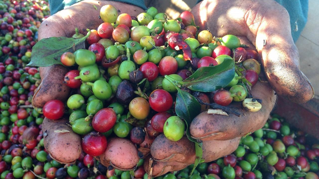 Эксперт: Уганда и Эфиопия могут стать «кофейными лидерами» мира благодаря России