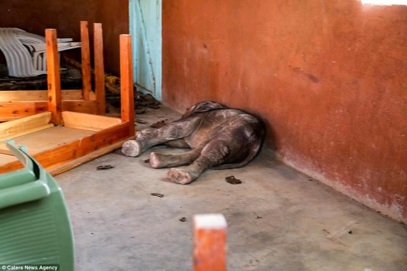 Слон из ее стада затоптал насмерть местную жительницу детеныш, животные, история, кения, люди, мир, слониха, спасение
