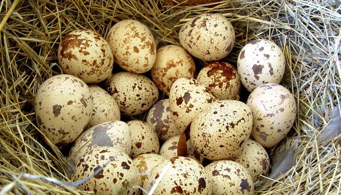 Чем полезны перепелиные яйца
