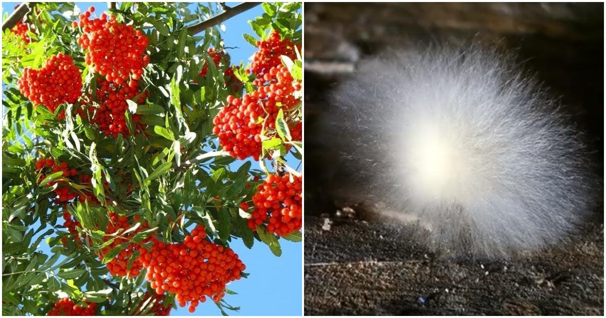 Рябина — спасительница урожая: избавляемся от плесени в погребе