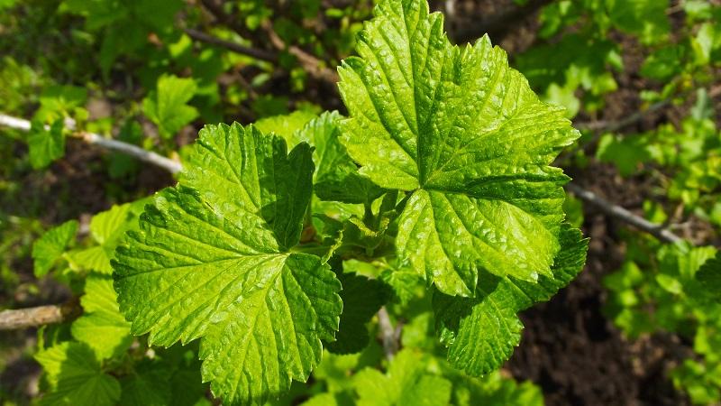 свойства листьев черной смородины