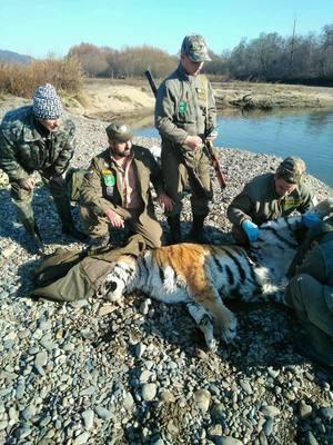 В Приморье специалисты отловили тигра, не реагировавшего на людей
