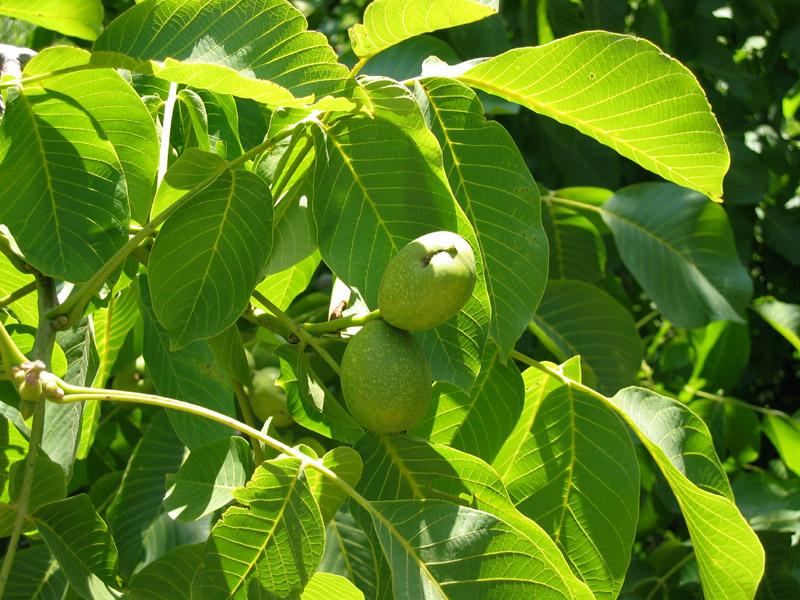 Совместимость деревьев и кустов