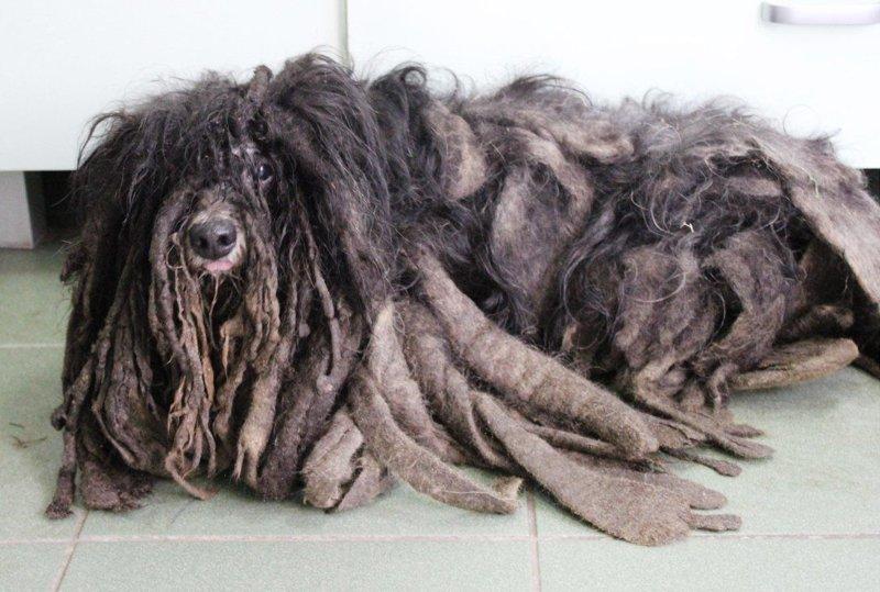 Спасение жутко заросшего пса от гибели