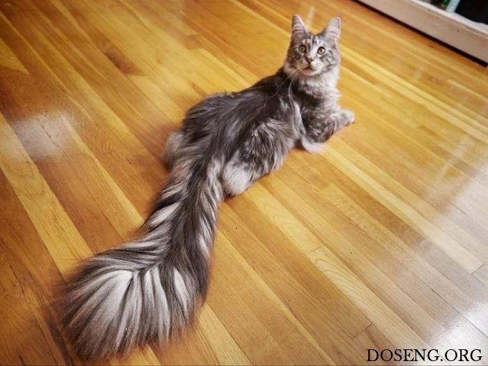 Домашний кот с самым длинным…