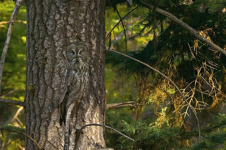 Искусство камуфляжа у зверей и птиц: найди сову