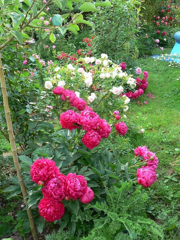 Пионы и розы. Фото автора