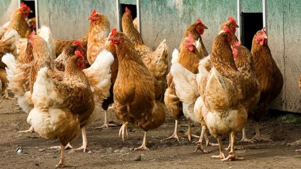 Миф о превосходстве коричневой расы яиц над белой