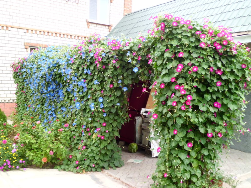 Ипомея - изящное украшение сада