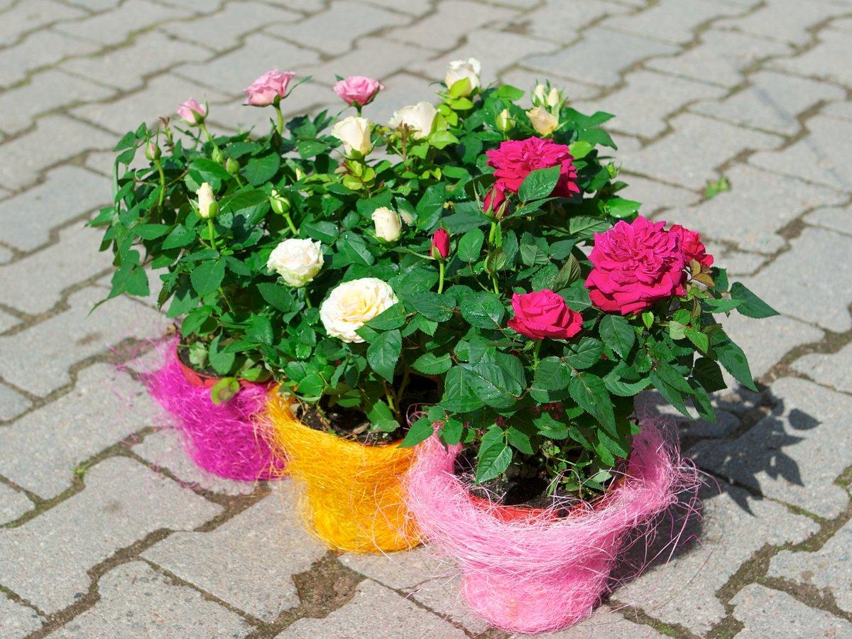 Розы в ярких контейнерах