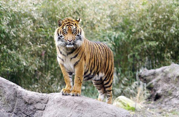 Стало известно, почему яркая шерсть не мешает тигру охотиться