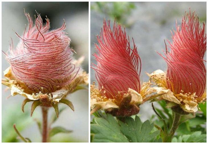 Гравилат ползучий (Geum Reptans) красота, особенные, природа, растения, флора, цветы